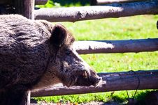 Free Boar Stock Images - 14650774