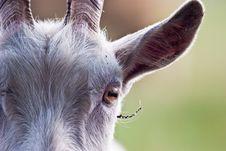 Free Goat Royalty Free Stock Photos - 14650888