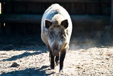 Free Boar Stock Photos - 14651023