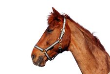 Free Brown Horse, Isolated Royalty Free Stock Images - 14651519