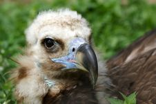 Free Griffin Vulture (Gyps Fulvus) Stock Photos - 14651653