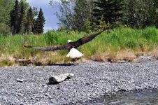 Free Majestic  Kenai River Eagle Stock Images - 14652114
