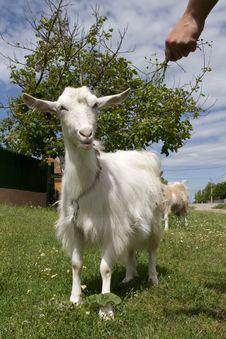 Free Feeding Goat Stock Images - 14652244