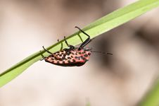 Free Strip Bug - Graphosoma Lineatum Stock Photos - 14653293