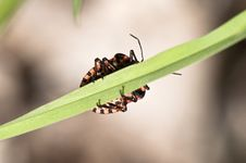 Free Strip Bug - Graphosoma Lineatum Royalty Free Stock Photo - 14653335