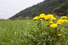 Free Dandelions In Summer Meadow Royalty Free Stock Photo - 14654975