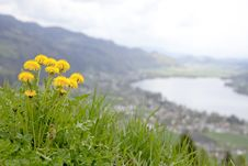 Free Summery Yellow Dandelions On Steep Hill Stock Photo - 14654990