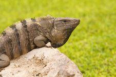 Free Iguana On A Stone With Green Background Stock Image - 14655181