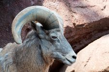 Free Mountain Goat Stock Images - 14655214
