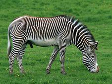 Free Zebra 3 Royalty Free Stock Images - 14655419