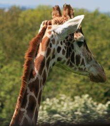 Free Giraffe Head 3 Stock Photography - 14655432
