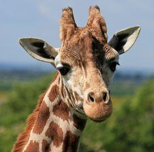 Free Giraffe Head 5 Stock Photos - 14655433