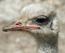 Free Ostrich Head Stock Photos - 14655443