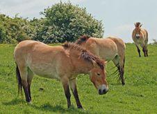 Free Przewalski Horses Stock Images - 14655474