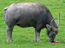 Free Water Buffalo 2 Royalty Free Stock Images - 14655479