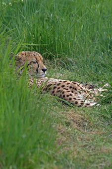 Cheetah 20 Stock Photo