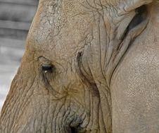 Free Elephant Head Royalty Free Stock Image - 14655536