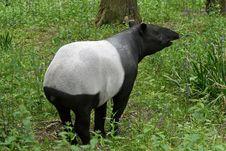 Free Tapir 4 Royalty Free Stock Photos - 14655548