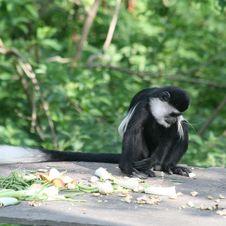Free Black And White Colobus Monkey 6 Royalty Free Stock Images - 14655559