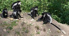 Free Black And White Colobus Monkey 7 Stock Photo - 14655560