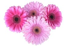 Free Pink Gerbera Flower Isolated On White Stock Photo - 14656360