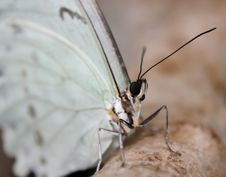Free Morpho Polyphemus Royalty Free Stock Photography - 14656437