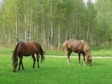 Free Horses Graze On Glade Stock Image - 14657111