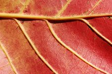 Free The Leaf Veins Stock Images - 14657124