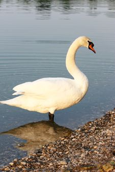 Swan On The Lakeside Royalty Free Stock Image