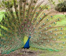 Free Peacock Displaying Feathers Stock Image - 14658091