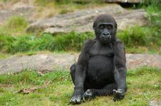 Free Cute Baby Gorilla Stock Image - 14658371