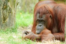 Free Cute Orangutan Royalty Free Stock Image - 14658476