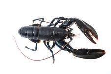 Breton Lobster. Stock Image