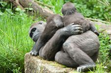 Free Cute Baby And Mother Gorilla Royalty Free Stock Photo - 14658525