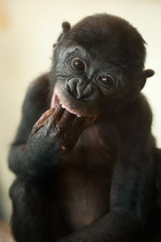 Cute Baby Bonobo Monkey Stock Photo