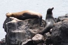 Free Sea Lion Stock Images - 14658734