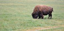 Free A Buffalo In A Field Alone Stock Images - 14658864