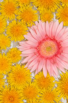 Yellow Dandelions And Red Gerbera Royalty Free Stock Photo