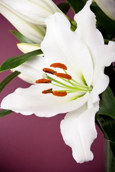 Free White Lily Royalty Free Stock Photos - 14659998