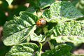 Free Colorado Beetles On The Foliage Of Potato Royalty Free Stock Images - 14662269