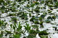 Free Water Lily Pads In A Pond Stock Photography - 14665222
