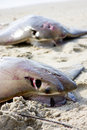 Free Pair Of Dead Stingray On A Beach Stock Image - 14665321