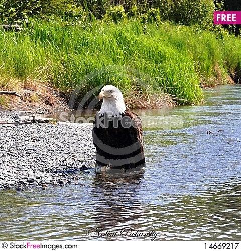 Free Wild Majestic Eagle Royalty Free Stock Photography - 14669217