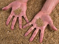 Free Grain Wheat Man Hands Stock Photos - 14660113