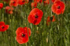 Free Poppy Flower Stock Image - 14660251