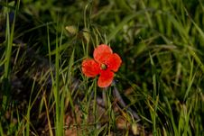 Free Poppy Flower Royalty Free Stock Photo - 14660295