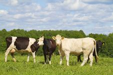 Free Cows In The Meadow Stock Photography - 14660832