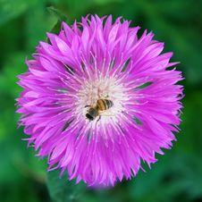 Free Bee On Flower Stock Photo - 14661160