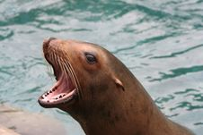 Free Sea Lion Barking Stock Photo - 14661270