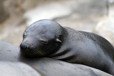 Free Sea Lion Pup Royalty Free Stock Photography - 14661277